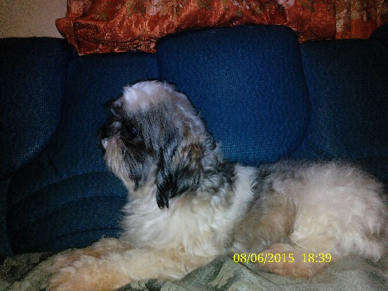 Shih Tzu Pure Breed photo