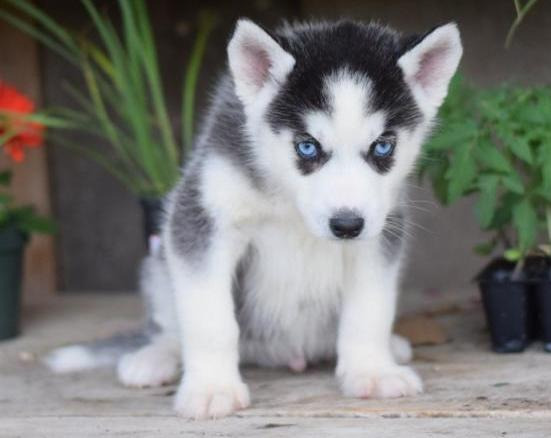 Siberian Husky Puppies photo
