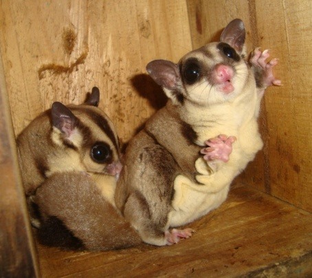 Exotic Pet Lovers: Sugar gliders try the thrill of exotics photo
