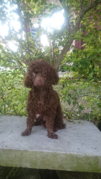 QUALITY TOY SIZED CHOCO POODLE FOR STUD SERVICE photo