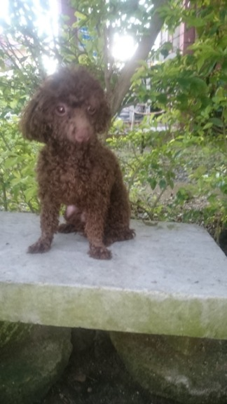 QUALITY TOY SIZED CHOCO POODLE FOR STUD SERVICE image 2