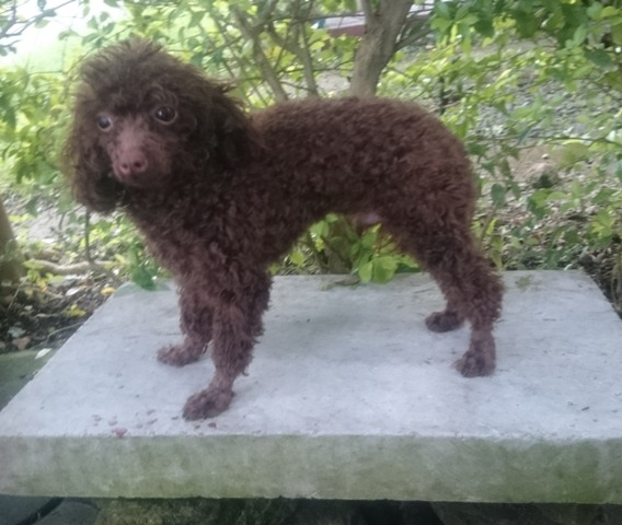 QUALITY TOY SIZED CHOCO POODLE FOR STUD SERVICE image 3