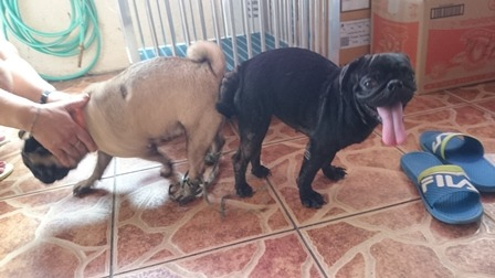 QUALITY BLACK PUG STUD 2 SIRES AVAILABLE photo