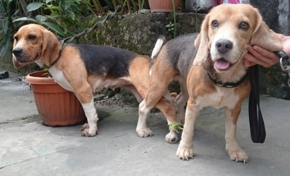 QUALITY BEAGLE STUDS 3 SIRES TO CHOOSE FROM 28REDS photo