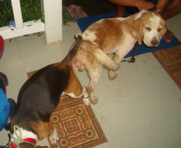 QUALITY BEAGLE STUDS 3 SIRES TO CHOOSE FROM 28REDS image 3