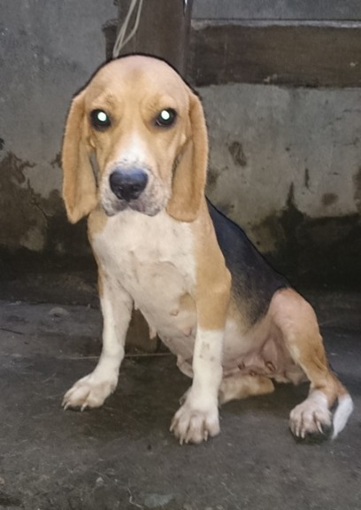 FEMALE NEAR HEAT BEAGLE RUSH SALE image 3