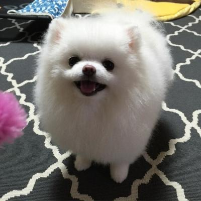 Awesome teacup pomeranian puppies ready now image 2