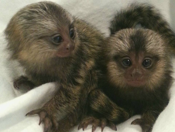 Marmoset monkeys for adoption. photo