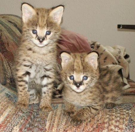 F1 Savannah kittens for adoption. photo