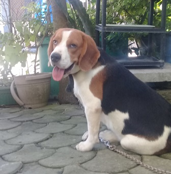 Prolific Compacy beagle Stud Quality Producer photo